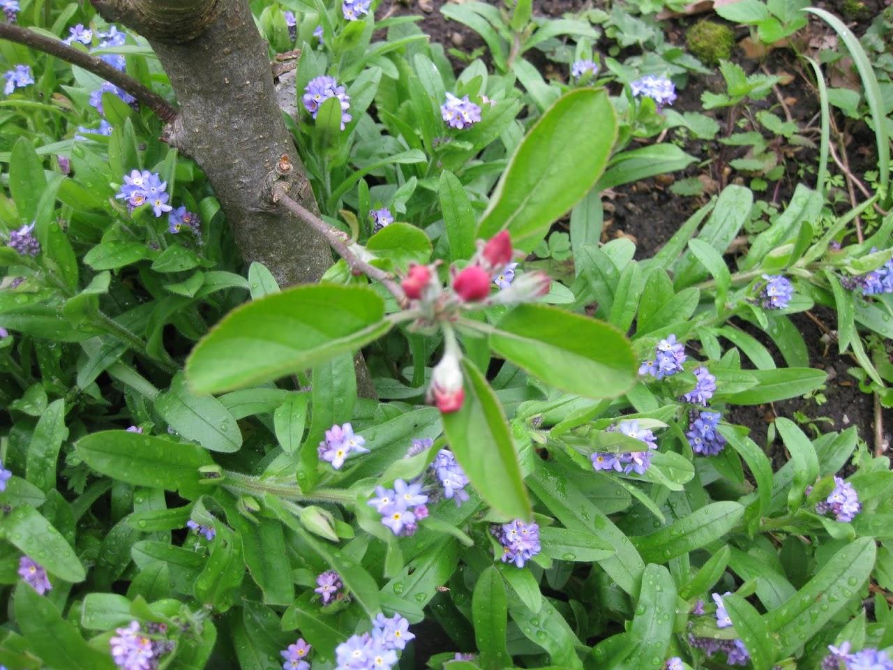 appelbloesem en vergeet-me-nietjes in de tuin