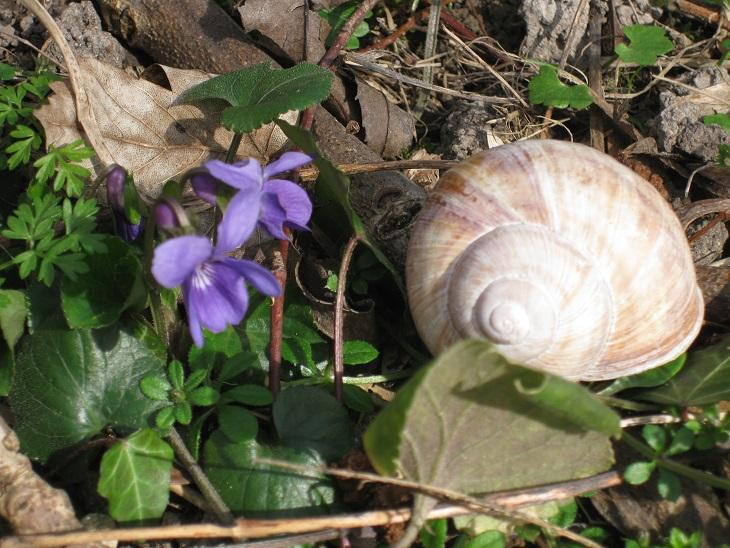 maartse viooltje met slakkenhuis
