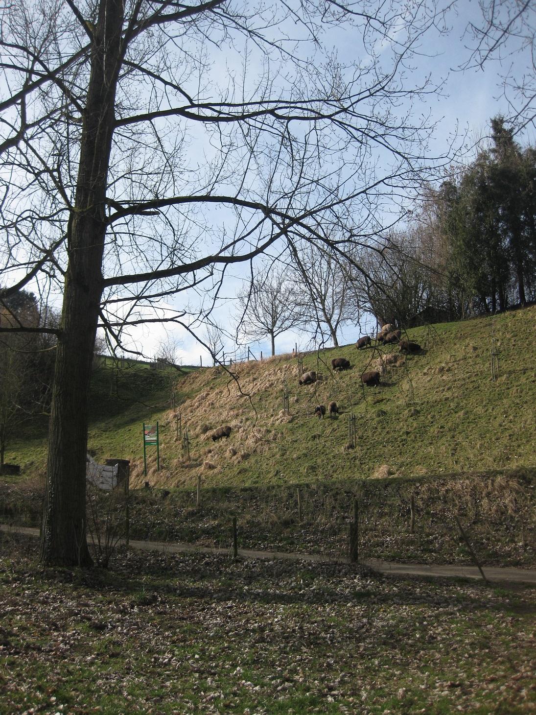 schapen grazen op de helling